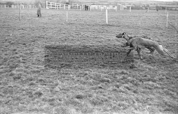 26th-28th December 1953; The action at Ballybeggan Park during the Kingdom Cup coursing meeting.