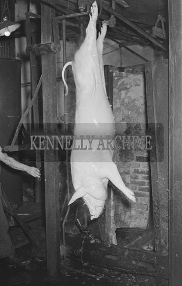 March 1954; A Hanging Pig Carcasse At The CWS Bacon Factory In Tralee.