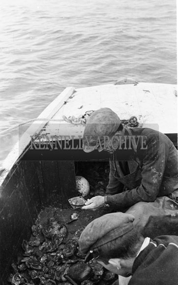 November 1954; Fishermen Oyster Dredging In Paddy Ferris' Boat At Fenit.