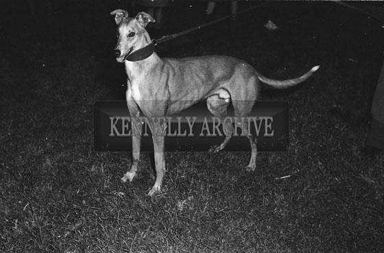 December 1954; A Photo Of 'Spanish Battleship', Ireland's Record Breaking Greyhound.