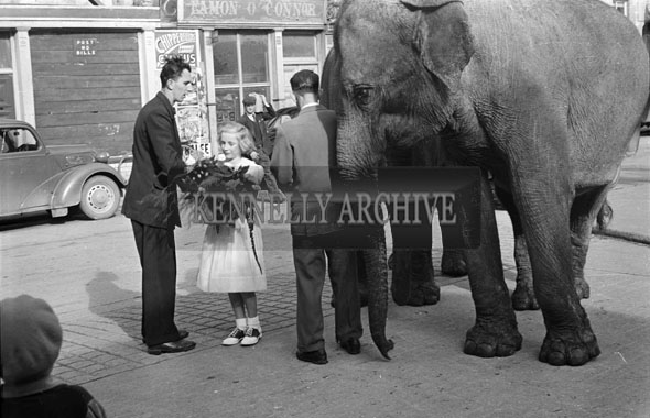 26th September 1956; Elephants from the Chipperfields Circus being presented with flowers by Jennifer O'Connor outside the Courthouse in Tralee.