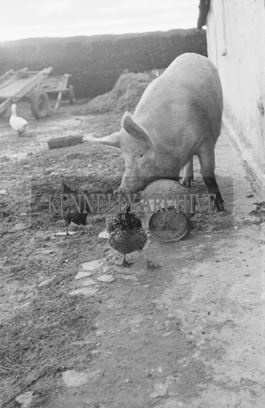 4th February 1956; A Pig At The Home Of Annie Mai Donegan, The Queen Of Plough, In Causeway.