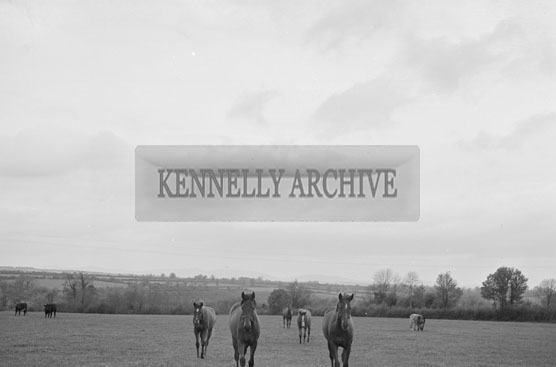 May 1956; Joan Kennnelly pictured at Nick Hirsch's stud in Ballymagooley.