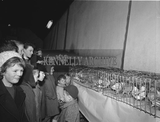 9th December 1962; A photo taken at the Tralee and District Cage Bird Society. The premier award was won by a Yellow Yorkshire Cock owned by Mr Bobby Miller from St Brendan's Park in Tralee.