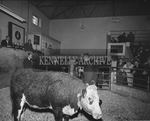 10th December 1962; A photo taken at the fat stock show and sale in the Tralee Cattle Mart at the Kingdom Co-op Livestock Show.