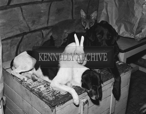 September 1962; Animals from St Joseph's including Sandy The Fox, Darkie the Labrador, Landy The Terrier and Hopper The Rabbit.  These natural enemies live happy together in St Joseph's in Tralee.