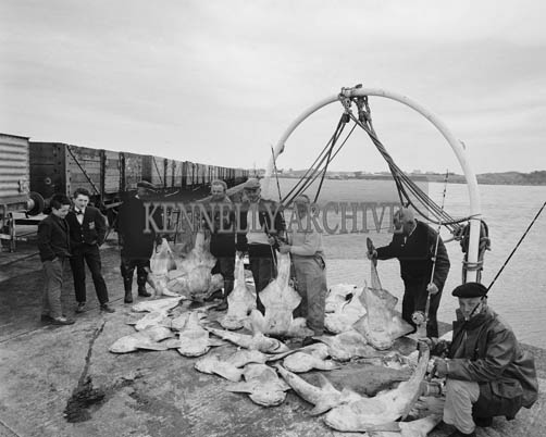 3rd June 1964; A photo of a record catch of monkfish on Fenit Pier. The catch included 37 monkfish and 2 tope and was landed less than a mile off Fenit Pier in under 3 hours. The catch had a total weight of 1,356 lbs. and contained 8 specimen of fish.