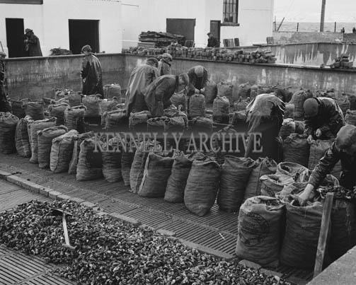 16th October 1964; A photo of fishermen packing mussels in Cromane.