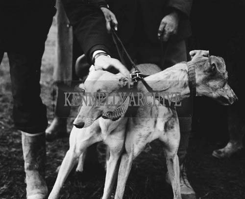 18th November 1964; A photo taken at the North Kerry coursing meeting in Ballyduff.