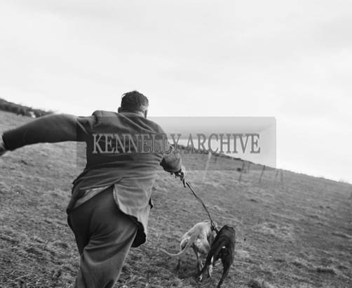 18th November 1964; Mick Murphy slipping two greyhounds at the North Kerry coursing meeting in Ballyduff.