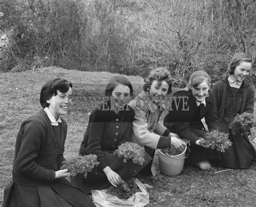 6th March 1964; A photo of girls picking shamrock in Listowel.