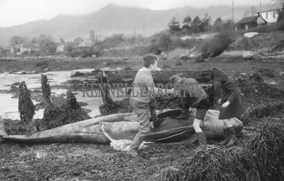 April 1964; A photo of children with the carcass of a whale weighing over half a ton on the strand at Bunaneer, Annascaul.