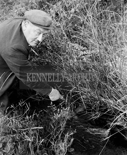 5th December 1964; A photo of dead fish from the Cumeragh River.