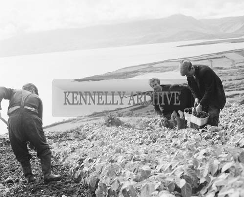 28th April 1964; A photo of people picking the first 'Swift Variety' new potatoes for the Dublin market on Brandon Head.