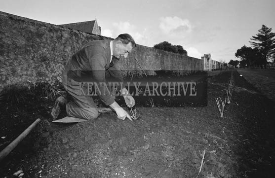 December 1964; A photo of Tralee Town Park Gardener Pat Wynne planting Rose Bushes.