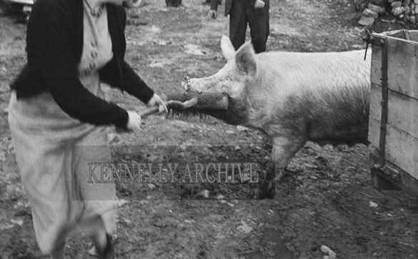 4th February 1956; Annie Mai Donegan, The Queen Of Plough, Being Attacked By A Pig At Home In Causeway.