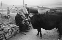 1955; A Photo Of Men With Cattle On Valentia Island Pier.