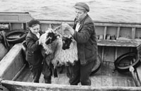 1955; A Photo Of Sheep Being Loaded Onto The Valentia Island Ferry.