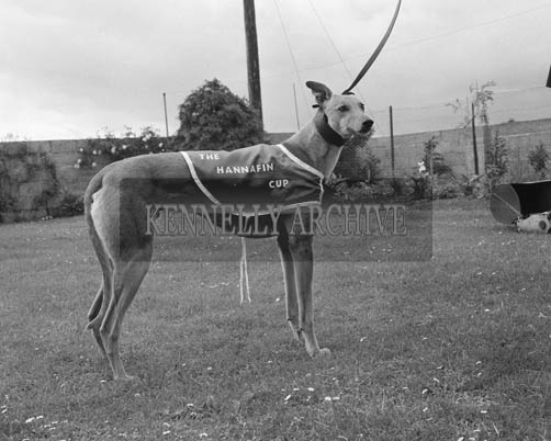 12th June 1964; P J Cronin's greyhound 'Captain Gambler,' who won the Hannafin Cup and 350 Pounds prize money.