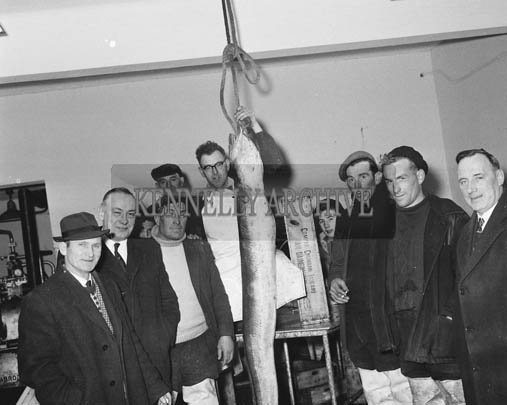February 1964; A giant conger eel in the Dingle Fishermen's Co-operative. Tommy Devane is on the left of the photo.