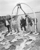 A Record Catch of Monkfish