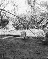 A Pheasant Hatchery